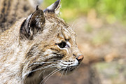 Bobcat Posters - Bobcat Portrait Closeup Poster by JPLDesigns