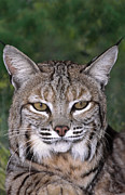 Bobcat Prints - Bobcat Portrait Wildlife Rescue Print by Dave Welling