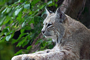 Bobcat Art Framed Prints - Bobcat Framed Print by Rhonda Humphreys