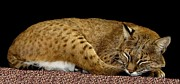 Bobcats Metal Prints - Bobcat Metal Print by Rose Santuci-Sofranko