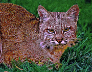 Lynx Rufus Mixed Media Posters - Bobcat Sedona Wilderness Poster by Nadine and Bob Johnston