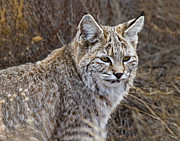 Rocky Mountain National Park Posters Prints - Bobcat Sitting in RMNP Print by James Futterer