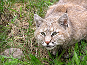 Drizzy Framed Prints - Bobcat stalking Framed Print by Sylvie Bouchard