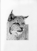 Bobcat Drawings Posters - Bobcat Poster by Wendy Brunell