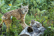 Bobcat Posters - Bobcat with kittens Poster by Mike Robinson