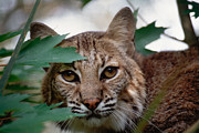 Bobcat Framed Prints - Bobcat with maple leaves Framed Print by Bradford Martin