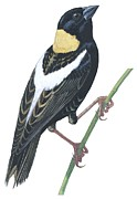 Wildlife Drawings - Bobolink by Anonymous