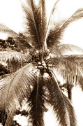 Coconut Palm Tree Framed Prints - Bocas Palm Framed Print by John Rizzuto