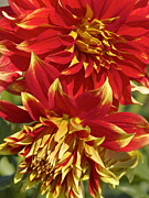 Dinner-plate Dahlia Framed Prints - Bodacious Dahlia 2 Framed Print by Sharon  Talson