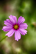 Appalachia Photos - Bohemian Garden Flower by John Haldane