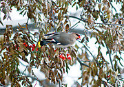 Bohemian Photos - Bohemian Waxwing Eating Berries by Terry Elniski