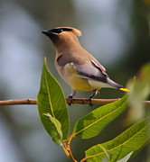 Bohemian Photos - Bohemian Waxwing by Garry Staranchuk