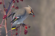 Bohemian Framed Prints - Bohemian Waxwing Framed Print by Mircea Costina Photography