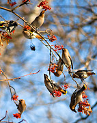 Bohemian Posters - Bohemian Waxwings Eating Berries 2 Poster by Terry Elniski
