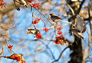Bohemian Photos - Bohemian Waxwings Eating Berries 3 by Terry Elniski