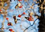 Bohemian Photos - Bohemian Waxwings Eating Berries 4 by Terry Elniski