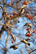 Bohemian Posters - Bohemian Waxwings Eating Berries 5 Poster by Terry Elniski