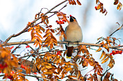Bohemian Posters - Bohemian Waxwings Eating Berries 6 Poster by Terry Elniski