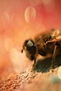 Bokeh Bee Print by Lee-Anne Rafferty-Evans