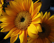 Colorado Photography Photos - Bold Golden Yellow and Orange Sunflower Bouquet by Julie Magers Soulen
