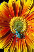 Gerbera Daisy Metal Prints - Boll weevil on mum Metal Print by Garry Gay