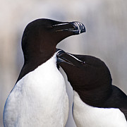 Razorbill Framed Prints - Bonding.. Framed Print by Nina Stavlund