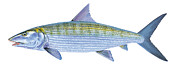 Animals Tapestries Textiles Originals - Bonefish by Carey Chen