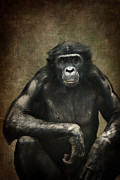 Ape Mixed Media Posters - Bonobo Poster by Angela Doelling AD DESIGN Photo and PhotoArt