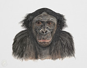 Chimpanzee Art - Bonobo or Pygmy Chimpanzee - Pan paniscus - primates   by Urft Valley Art