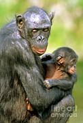 Embracing Posters - Bonobo Pan Paniscus Mother And Infant Poster by Millard H. Sharp