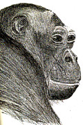 Primate Drawings - Bonobo by Sandy McIntire