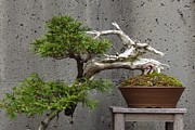 Anita Adams - Bonsai I