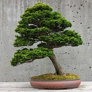 Anita Adams - Bonsai II