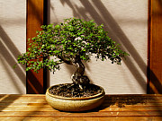 Rachel Cohen Photos - Bonsai in Green by Rachel Cohen