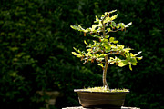 Shape Photo Posters - Bonsai Poster by Jane Rix