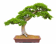 Red Carpet Pyrography Prints - Bonsai Tree Beauty Print by Boon Mee
