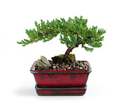 Realism Pyrography Posters - Bonsai Tree Poster by Boon Mee