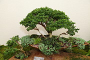 Japanese Prints - Bonsai Treet - US Botanic Garden - 01131 Print by DC Photographer