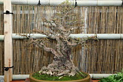 Mini Photos - Bonsai Treet - US Botanic Garden - 01136 by DC Photographer