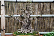 Japanese Framed Prints - Bonsai Treet - US Botanic Garden - 01137 Framed Print by DC Photographer