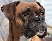 Boxer Dog Art Print Prints - Boogie The Boxer Print by Debbie Stahre