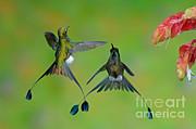 Anthony Mercieca - Booted Racket-tail Hummingbird Males