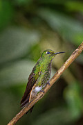 Ecuador Prints - Booted-Racket tail Print by Todd Bielby