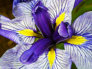 Iris Digital Art Prints - Boothbay Beauty Print by ABeautifulSky  Photography