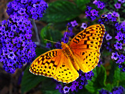 Photo Manipulation  Prints - Boothbay Butterfly Print by ABeautifulSky  Photography