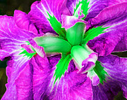 Iris Digital Art Prints - Boothbay Iris in Magenta n Green Print by ABeautifulSky  Photography