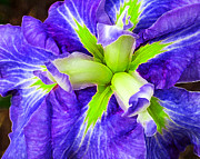 Boothbay Violet With Chartreuse Print by Bill Caldwell -        ABeautifulSky Photography