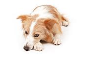 Border Collie Dog Laying Down  Print by Susan  Schmitz