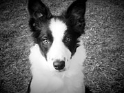 Kylani Arrington Prints - Border Collie Puppy Print by Kylani Arrington