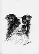 Collie Drawings Framed Prints - Border Collie Framed Print by Sheri Marean